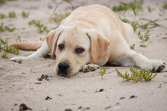 Yellow labrador dog on the send Stock Photo