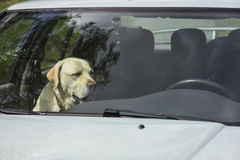 A yellow Labrador dog sits in a hot car in Finland. It`s a sunny and warm day royalty free stock image