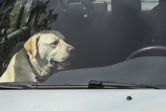 A yellow Labrador dog sits in a hot car in Finland. It`s a sunny and warm day stock photography