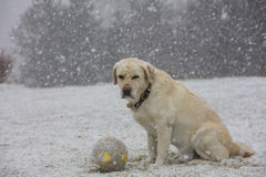 A yellow labrador dog sits outdoors in Finland. Stock Photography