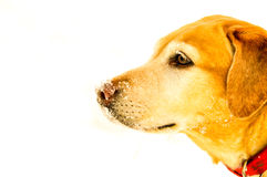 Yellow Labrador in front of white background with snow on her nose Stock Photography