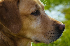 Yellow labrador royalty free stock photos