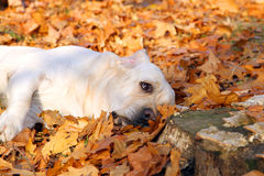 Yellow labrador in the park in autumn with leaves Stock Photography