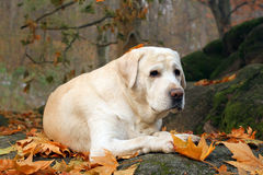 Yellow labrador in the park in autumn Stock Photos