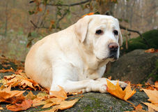 Yellow labrador in the park in autumn Royalty Free Stock Images