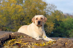 The yellow labrador in the park in autumn Stock Photo