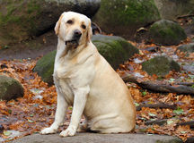 A yellow labrador in the park in autumn Stock Photos
