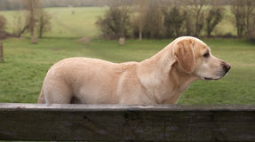 Yellow labrador in the park Stock Images