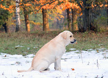 Yellow labrador in the park with snow Royalty Free Stock Photo