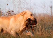 Yellow labrador with pheasant Royalty Free Stock Image