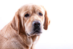 Yellow labrador portrait Stock Photos