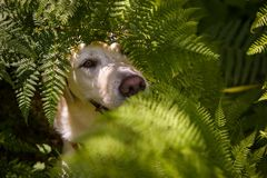 Yellow Labrador portrait in the ferns stock photos