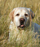 Yellow labrador portrait in field Royalty Free Stock Photo