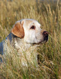 Yellow labrador portrait in field Royalty Free Stock Images