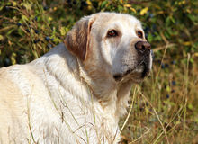 Yellow labrador portrait in field Royalty Free Stock Photo