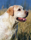Yellow labrador portrait in summer Royalty Free Stock Photos