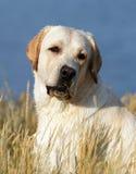 Yellow labrador portrait in summer Stock Photos