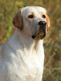 Yellow labrador portrait in summer Stock Photo