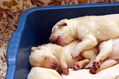 Yellow labrador puppies newborn Royalty Free Stock Images