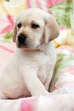 Yellow labrador puppy Stock Photos