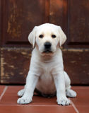 Yellow labrador puppy Royalty Free Stock Photography