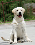Yellow labrador puppy Stock Images