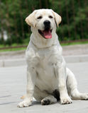 Yellow labrador puppy Royalty Free Stock Photos