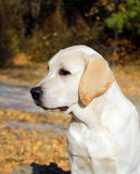 Yellow labrador puppy in autumn park Royalty Free Stock Images