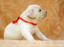 Yellow labrador puppy Stock Photography
