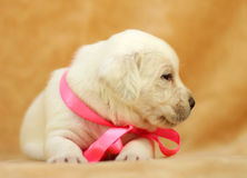 Yellow labrador puppy Royalty Free Stock Photo