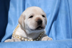 Yellow labrador puppy on blue Stock Photos