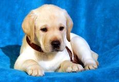 Yellow labrador puppy on blue Stock Photo