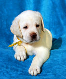 Yellow labrador puppy on blue Royalty Free Stock Images