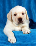 Yellow labrador puppy on blue Stock Images