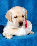 Yellow labrador puppy on blue Stock Photos