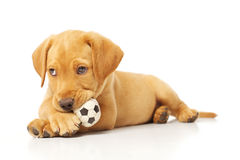 Yellow Labrador Puppy Chewing on a toy. Portrait of a yellow lab puppy on white background Stock Image
