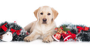 Yellow labrador puppy with christmas decorations Stock Images