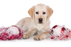 Yellow labrador puppy with christmas decorations Royalty Free Stock Photos