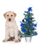 Yellow labrador puppy with a christmas tree Royalty Free Stock Photos