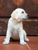 Yellow labrador puppy at the door Royalty Free Stock Photo