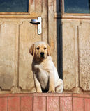 Yellow labrador puppy at the door Stock Photography