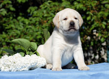 Yellow labrador puppy with flowers Royalty Free Stock Photography