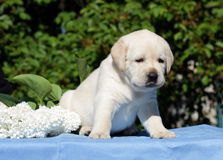 Yellow labrador puppy with flowers Royalty Free Stock Photo