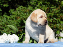 Yellow labrador puppy with flowers Royalty Free Stock Photos