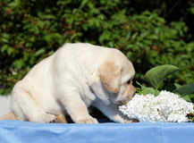 Yellow labrador puppy with flowers Stock Images