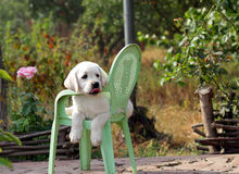 Yellow labrador puppy in the garden Royalty Free Stock Photography