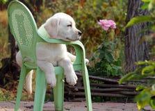Yellow labrador puppy in the garden Royalty Free Stock Photography