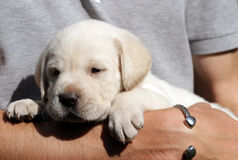 Yellow labrador puppy in the hands Royalty Free Stock Image