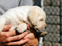 Yellow labrador puppy in the hands Royalty Free Stock Photo