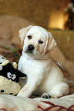 Yellow labrador puppy at home Royalty Free Stock Photo